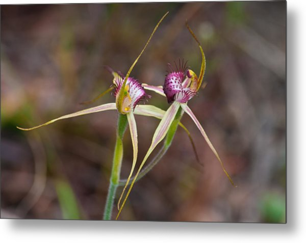 Spider Orchid Australia Metal Print