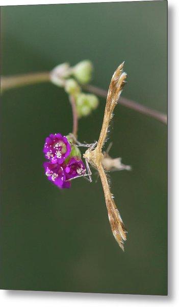 Spiderling Plume Moth On Wineflower Metal Print