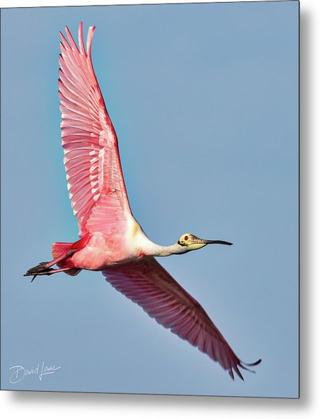 Metal Print featuring the photograph Spoonbill Flying Over by David A Lane
