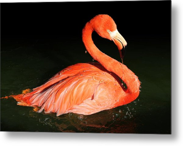 Spotlight On A Bathing Flamingo Metal Print