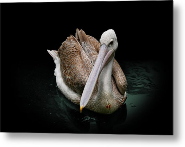 Spotlight On A Pink-backed Pelican Metal Print