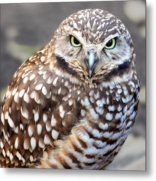 Spots - Burrowing Owl Metal Print