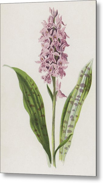 Spotted Orchis Metal Print