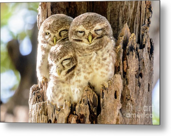 Spotted Owlets Metal Print