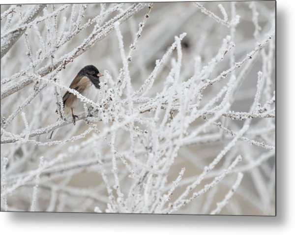 Spotted Towhee In Winter Metal Print