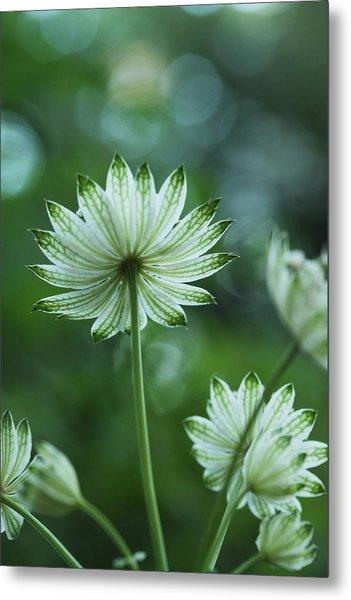 Botanica .. Spray Of Light Metal Print
