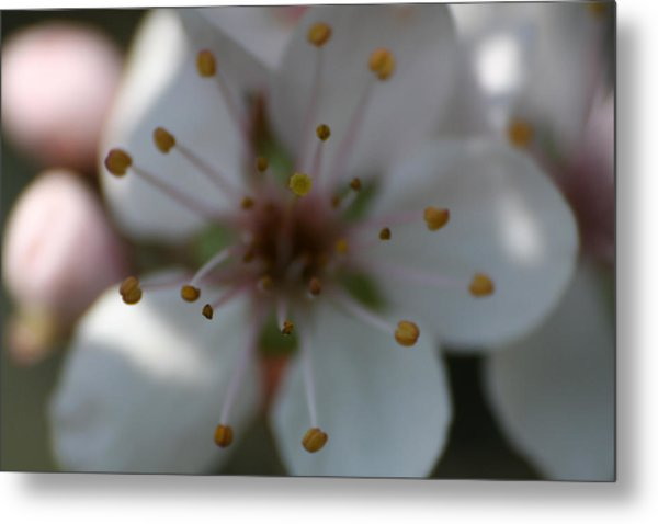 Spring Beauty Macro 1 Metal Print