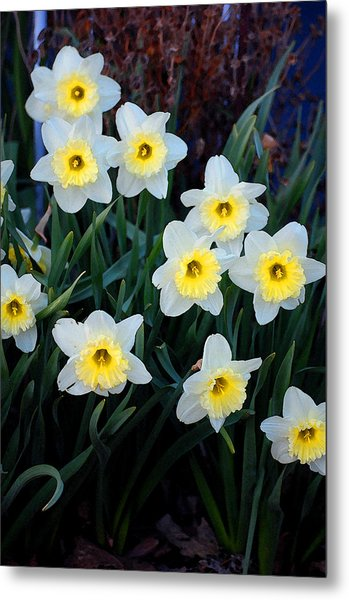 Spring Daffodills Metal Print by Jame Hayes