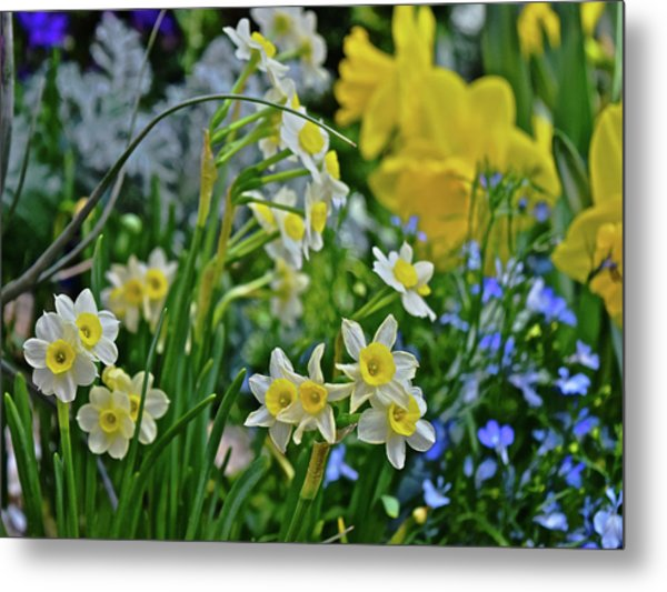 Metal Print featuring the photograph Spring Show 18 A Sea Of Daffodils by Janis Nussbaum Senungetuk