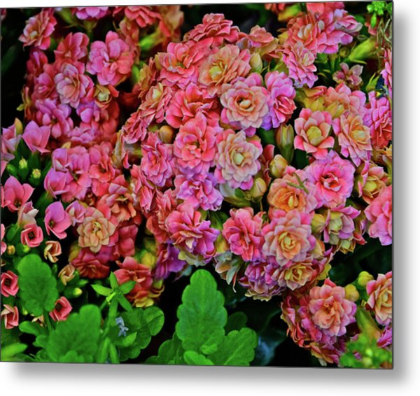 Metal Print featuring the photograph Spring Show 18 Double Pink Kalanchoe by Janis Nussbaum Senungetuk