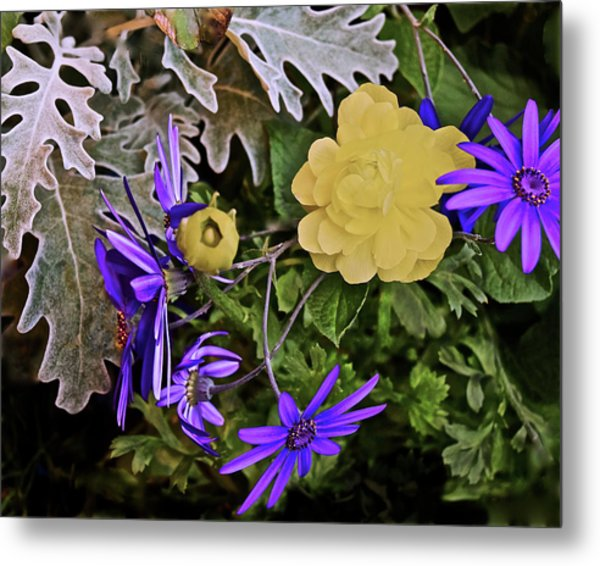 Metal Print featuring the photograph Spring Show 18 Persian Buttercup With Florist's Cineraria 2 by Janis Nussbaum Senungetuk