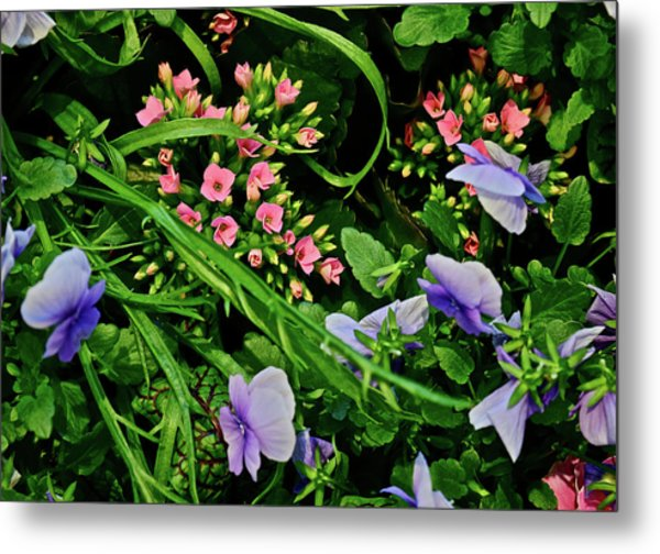 Metal Print featuring the photograph Spring Show 18 Pink Kalanchoe And Viola by Janis Nussbaum Senungetuk