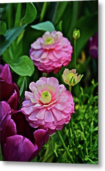 Metal Print featuring the photograph Spring Show 18 Pink Ranunculus 1 by Janis Nussbaum Senungetuk
