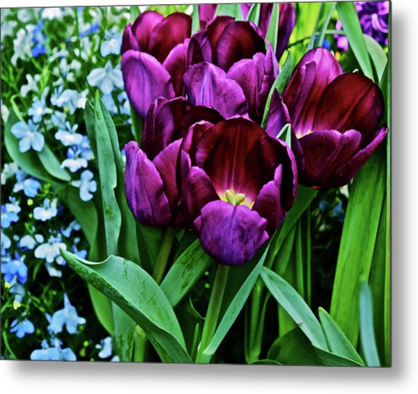 Metal Print featuring the photograph Spring Show 18 Red Violet Tulips And Lobelia by Janis Nussbaum Senungetuk