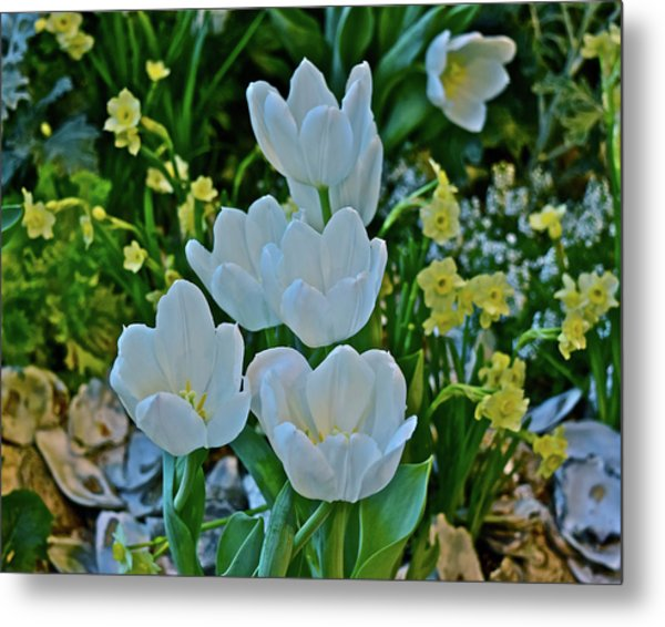 Metal Print featuring the photograph Spring Show 18 White Tulips And Minnow Daffodils by Janis Nussbaum Senungetuk