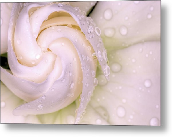 Spring Showers On The Gardenia Metal Print by JC Findley