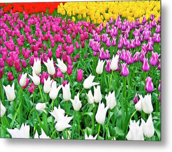 Spring Tulips Flower Field II Metal Print by Artecco Fine Art Photography