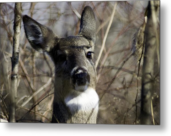 Metal Print featuring the photograph Spring Whitetail by Wade Clark