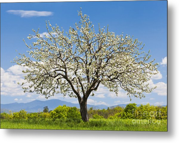 Springtime Apple Tree Metal Print