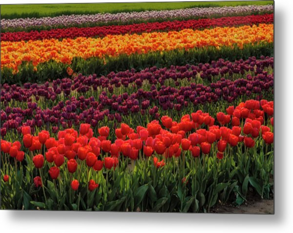 Metal Print featuring the photograph Springtime Tulips by Susan Candelario