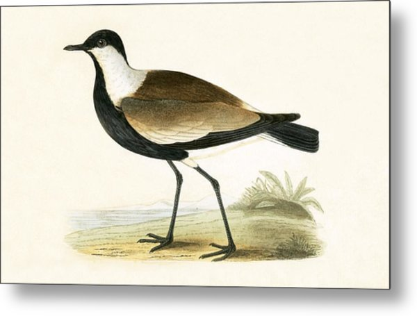 Spur Winged Plover Metal Print