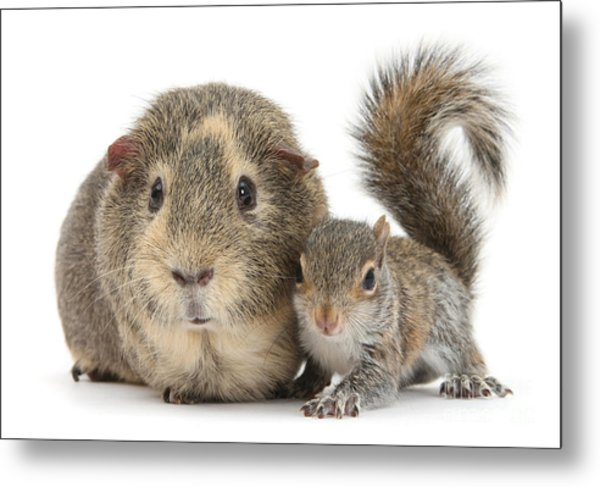 Squirrel And Guinea Metal Print