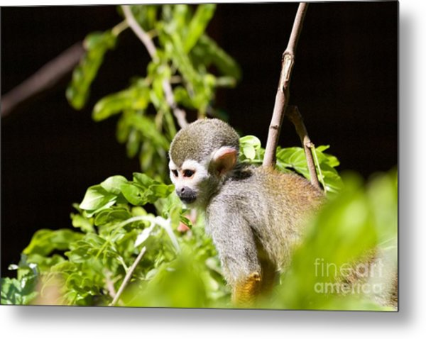 Squirrel Monkey Youngster Metal Print