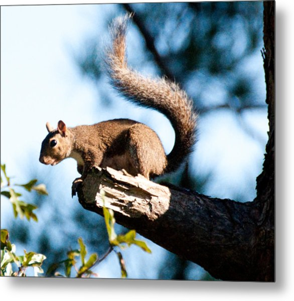 Squirrel On Limb Metal Print by Bill Perry