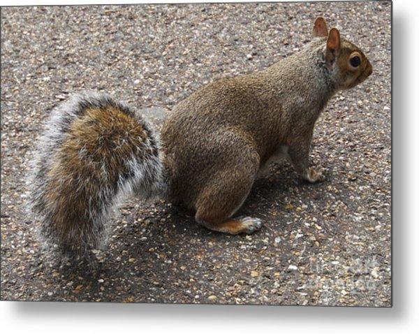 Squirrel Side Metal Print