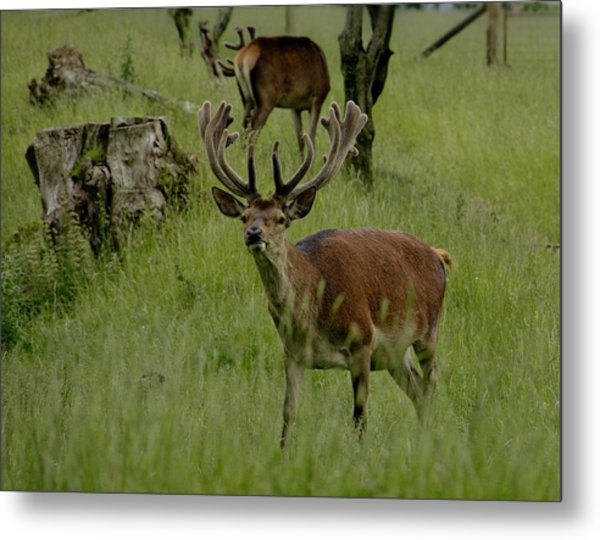 Stag Of The Herd. Metal Print