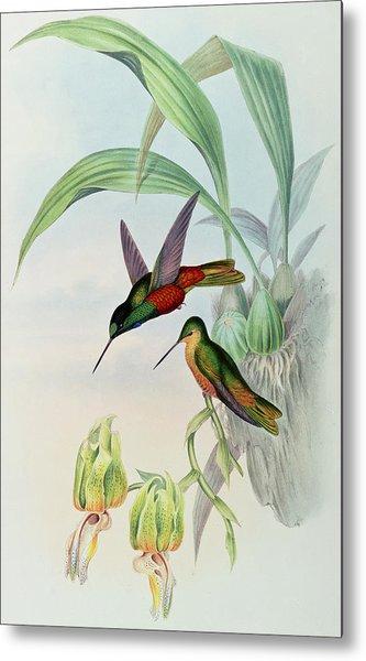 Star Fronted Hummingbird Metal Print