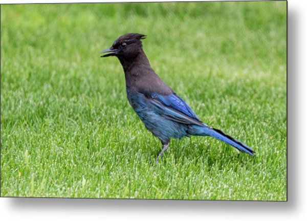 Steller's Jay On The Lawn Metal Print