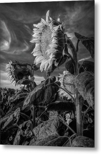 Strength Of A Sunflower Metal Print