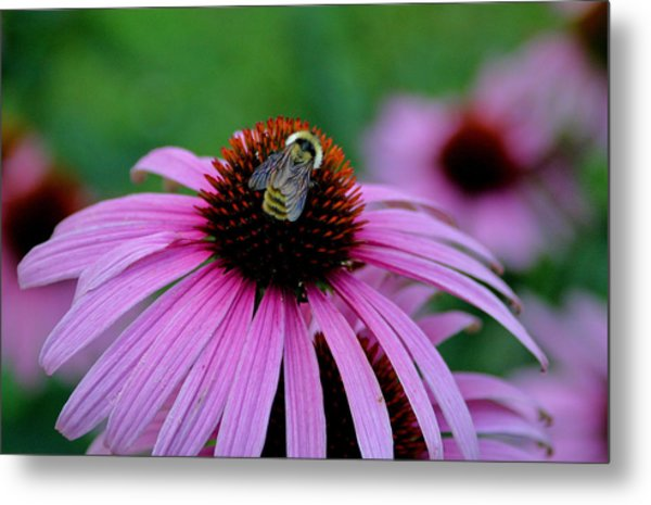 Striped Bumble Bee Metal Print by Martin Morehead