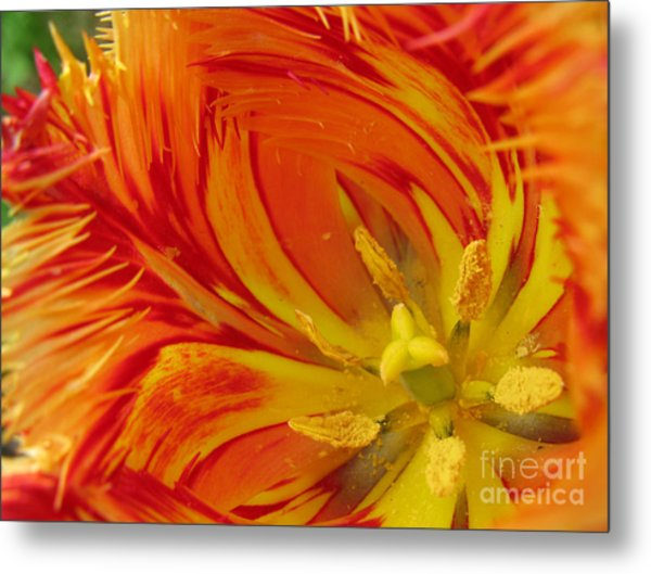 Striped Parrot Tulips. Olympic Flame Metal Print