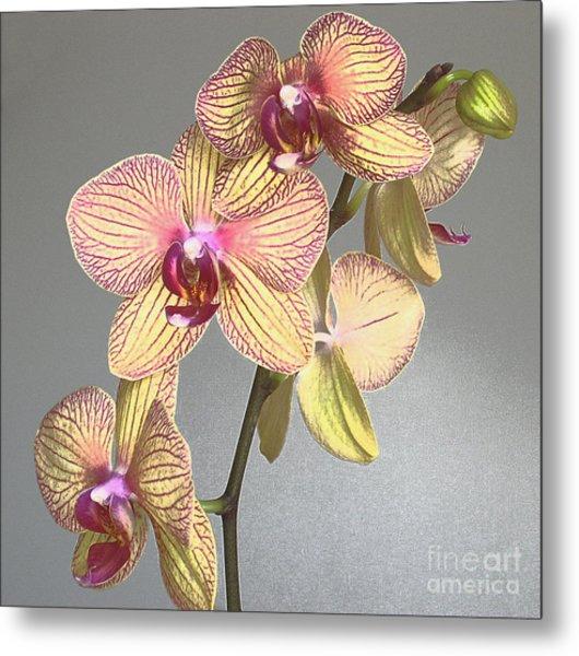 Striped Phalaenopsis Metal Print by Addie Hocynec