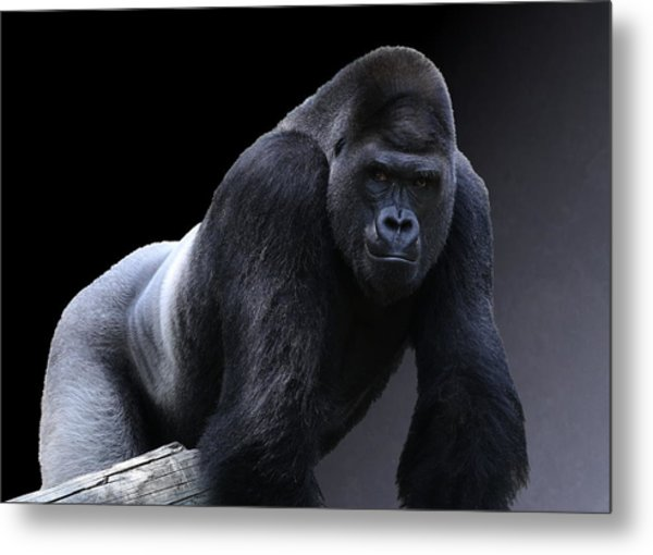 Strong Male Gorilla Metal Print