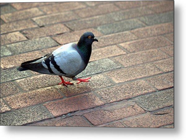Strutting Pigeon Metal Print