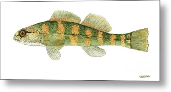 Study Of A Green Sided Darter Metal Print
