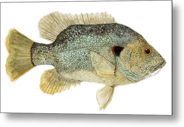 Study Of A Green Sunfish Metal Print