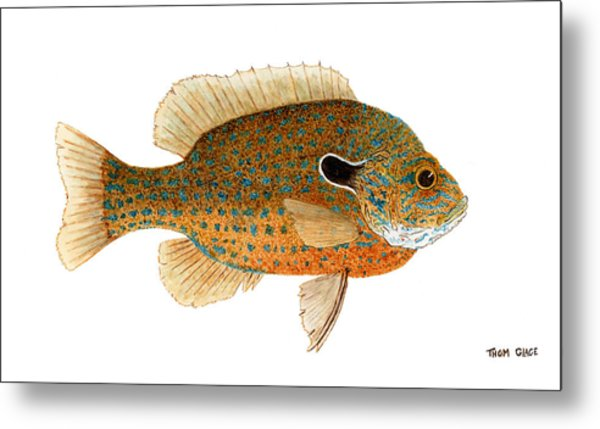 Study Of A Longear Sunfish Metal Print