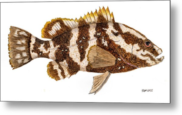 'study Of A Nassau Grouper' Metal Print
