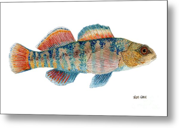Study Of A Rainbow Darter Metal Print
