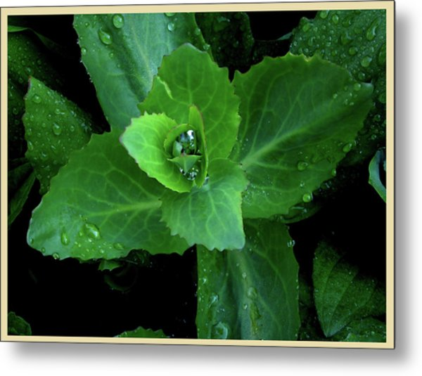 Succulent After The Rain  Metal Print