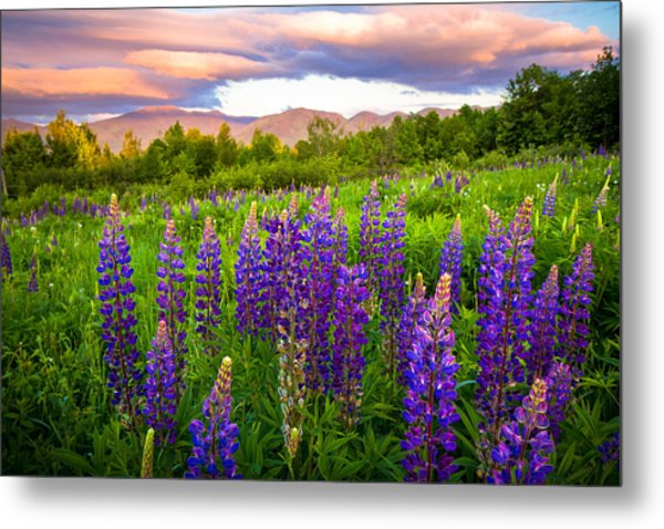 Sugar Hill Lupines Metal Print