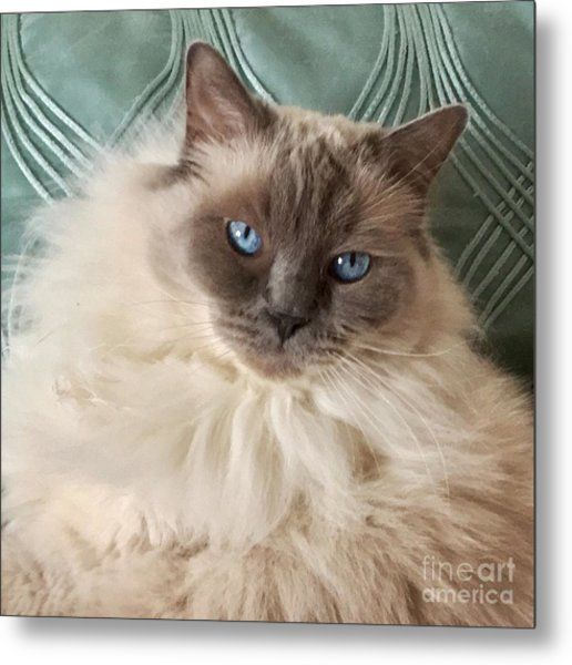 Sugar My Ragdoll Cat Metal Print