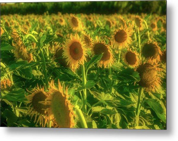 Summer Field Of Sunflowers Metal Print