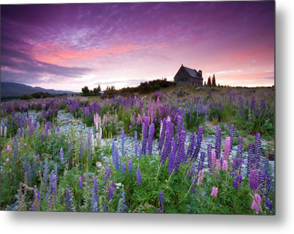 Summer Lupins At Sunrise At Lake Tekapo, Nz Metal Print