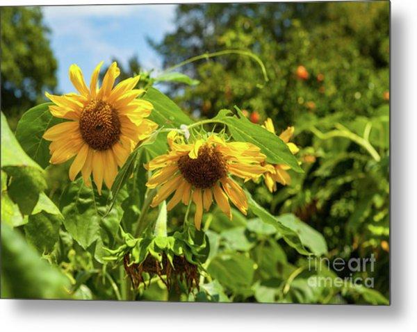 Summer Sunflowers Metal Print