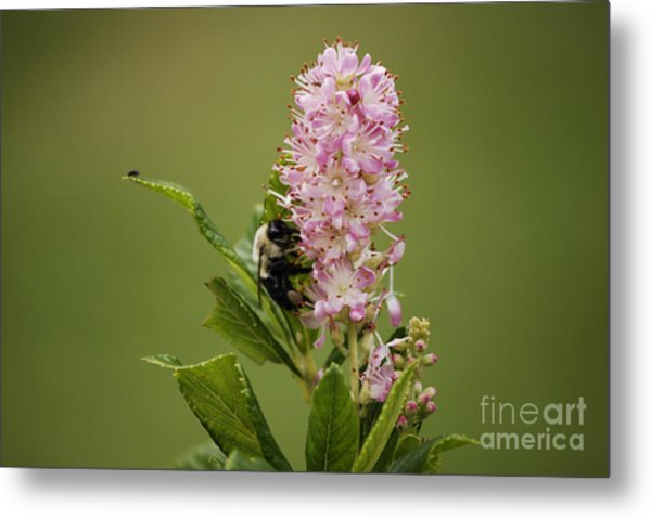 Summersweet Metal Print